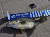 I caught this bass on the Potomac river Gunston Cove VA 10/29/2010 using a tequila sunrise rattle trap. Did not weight the bass but should be a few pounds.