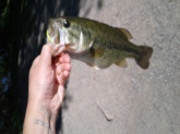 I caught this largemouth at Bozeman pond in Bozeman, MT. I caught it using a chartreuse topwater buzzbait. This fish weighed approximately 3 lbs.