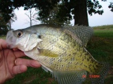 I bought a farm last year with a 10  acre lake. It is an old body of water, approx 60 years old. I was frustrated that the bass we were catching were only 12-14 inches long. I found the problem; the average crappie is 12 inches and 3/4lb. I have taken three crappie over 16 inches, one 18 inches from the pond. It is easy to catch 12-15 of these guys on any given outing. They respond to white fuzzy 1/16 oz jigs the best. I use a weighted bobber with the jig, it stays put better in a breeze.