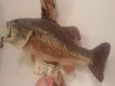 This is a male 10lb 4 oz caught in CA. 1986 is this a world record for a male .