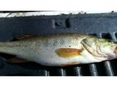 i caught this fish in lake wood in dyersburg tennessee! 5 to 6 pounds!