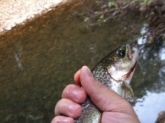 1lb Rainbow Trout. Casey Creek Cadiz, KY