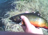 This colorful Brook trout came from a small lake in Colorado.