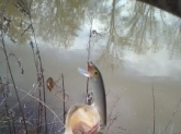 January 11,2014  Did not weigh but caught in small pond in McMinnville, TN. Beautiful picture meant for a magazine.