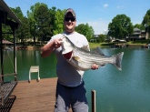 Striper caught in Hartwell Lake, Georgia side on free line shiner. 29lb 7oz