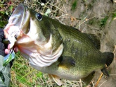 caught & released this largemouth oct 4th 2006 in snodgrass slough (sacramento co ca)...hit my homemade buzz bait & gave an excellent fight...fish weighed 9.25#