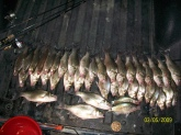 39 whites 2 crappie caught during the spawn in Texas at Mother Neff State Park