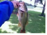 I caught this Bass in Sterling Price Lake, which is near Salisbury, MO.  The lure I caught it on was a black/blue jig with a rattle,the bass weighed about 4-5 pounds.  The day I went I thought I would do good using a more faster presntation with lures such as jerkbaits and spinnerbaits. The reason being is that it was early(around 7:00 a.m.) and the temperature was about 70 degrees, it was cloudy and the water suface was active.  To my surprise I didn't get any bites on faster paced lures, but as soon as I switched to this jig I caught this bass on my second cast with it.  I also caught several other bass about the size of this one, but this is the only one I decided to take a picture of.